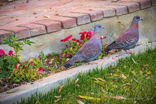(African) rock pigeons
